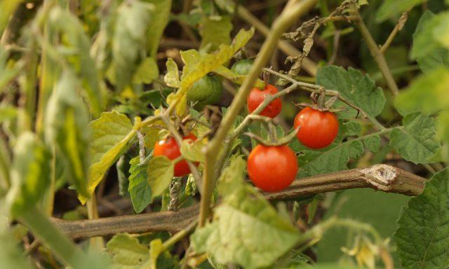 Como é que a tecnologia está a ajudar a cultura do tomate?