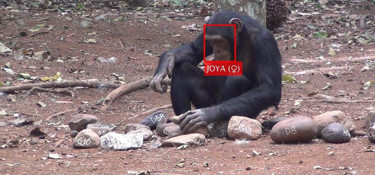 Universidade de Coimbra: Inteligência artificial também pode servir para identificar primatas na selva